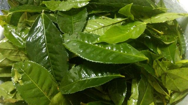 Sử dụng nước lá trà xanh là một trong những cách trị mùi hôi vùng kín thông minh.